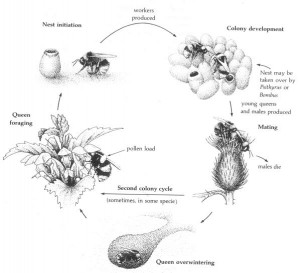Worker bee lifecycle courtesy of www.bumblebee.org/images/lifecycle.jpg
