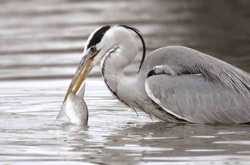 Heron catching fish by LHG Creative Photography, on Flickr
