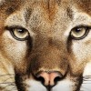 First Mammal to Lay an Egg: Mountain Lion by Apple