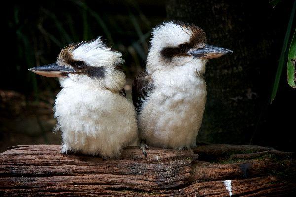 Kookaburra_Twins_600